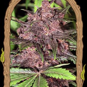 exotic-seeds-black-haze_autofiorente_.png