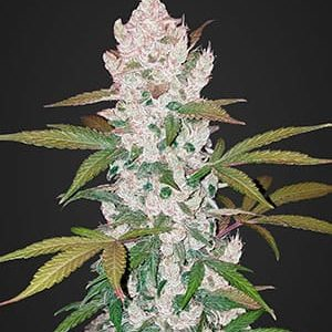 semi-fast-buds-girl-scout-cookies-auto.jpg