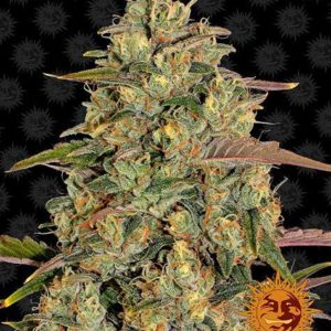 barneys-farm-amnesia-lemon_femminizzata_.jpg